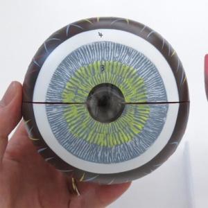 眼球血管膜:正面