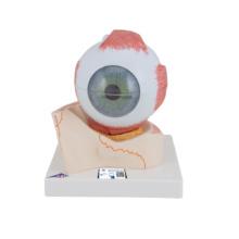 視覚器(眼球),5倍大・7分解ジャイアントモデル,眼窩床付