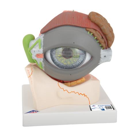 視覚器(眼球),5倍大・8分解ジャイアントモデル,眼窩床・眼瞼・涙器付