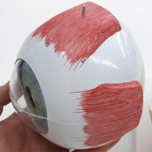 眼球線維膜:斜め上側より