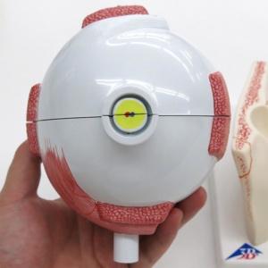 眼球線維膜:背面