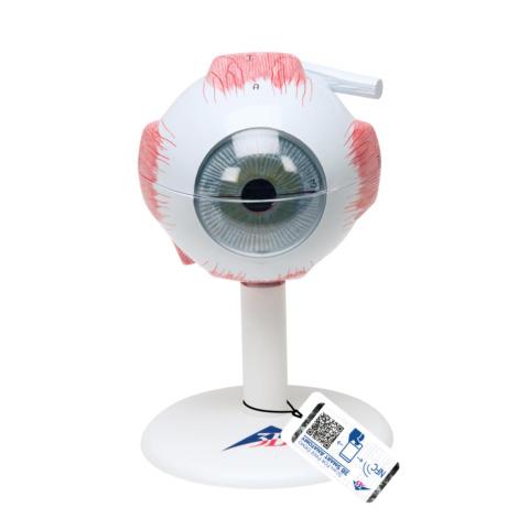 視覚器(眼球),3倍大・6分解モデル