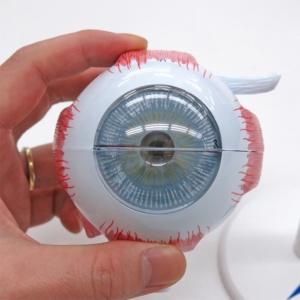 眼球線維膜:正面