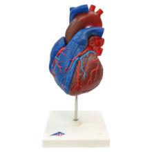 心臓,実物大5分解モデル,動・静脈血区分