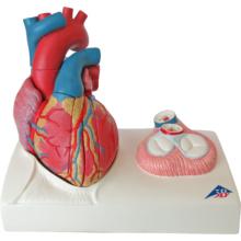 心臓,実物大5分解モデル,心臓弁レリーフ付