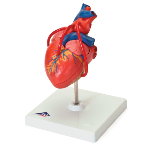 心臓,バイパス付・2分解モデル