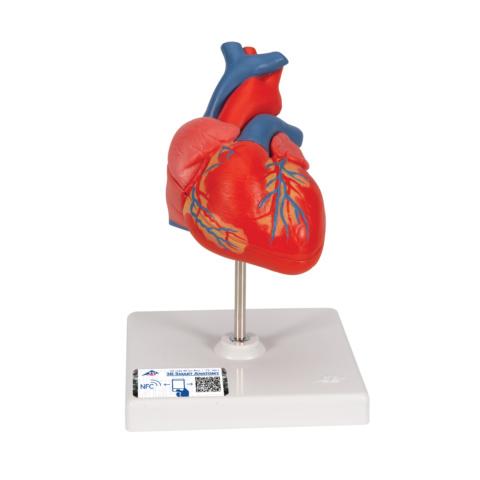 心臓,2分解モデル