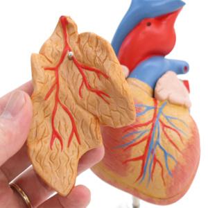 取り外し可能な胸腺