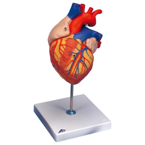 心臓,2倍大・4分解・ジャイアントモデル