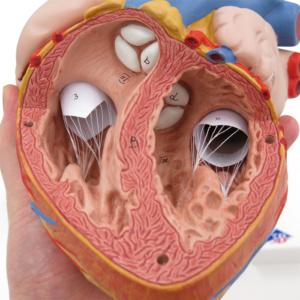 心房,心室,弁など細部まで再現