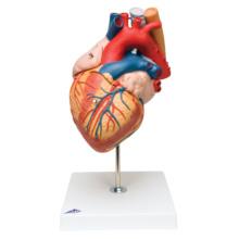 心臓,2倍大・5分解モデル,食道・気管・大動脈付
