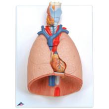 肺,7分解デラックスモデル