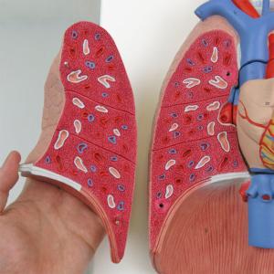 右肺:肺胞によるスポンジ状の構造