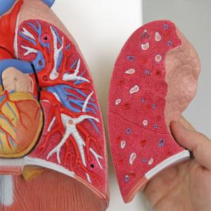 左肺:肺動脈・静脈,気管支など