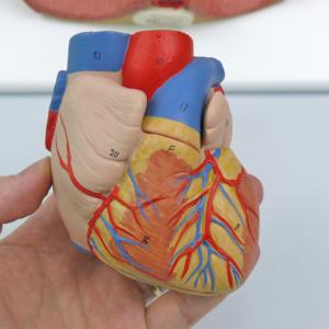 心臓:正面