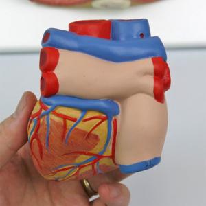 心臓:背面