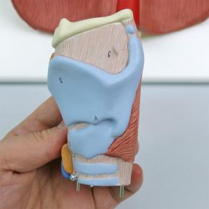 喉頭:左側より