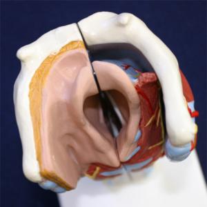 上から見た喉頭腔