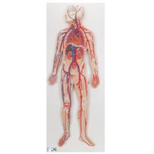 血管系,1/2倍大モデル