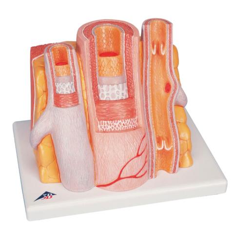 動脈と静脈の組織構造モデル