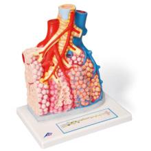 肺胞と肺小葉モデル