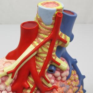 区域気管支・血管・細気管支など