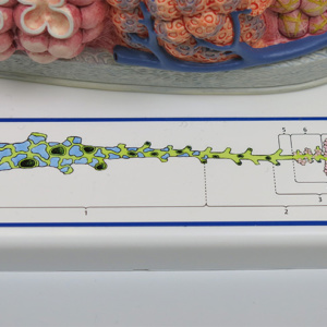 気管支の肺胞までの構造イラスト