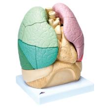 肺区域,20分解モデル