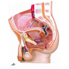 男性骨盤内臓器,2分解モデル,ボード型