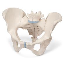 女性骨盤,3分解モデル