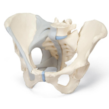女性骨盤,靭帯付,3分解モデル