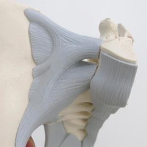 腸腰靱帯・前仙腸靱帯・前縦靱帯