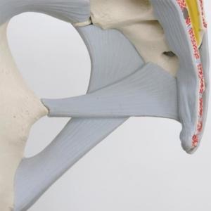 仙棘靱帯・仙結節靱帯