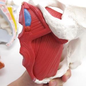 肛門括約筋・球海綿体筋・深会陰横筋