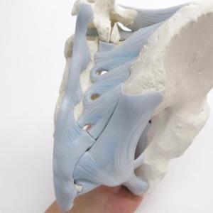棘上靭帯・骨間仙腸靱帯・後仙腸靭帯