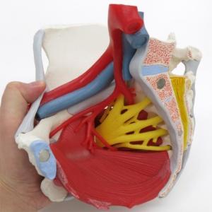血管・神経・筋・靭帯を再現