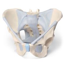 男性骨盤,靭帯付,2分解モデル