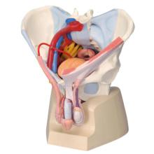 男性骨盤,内臓・骨盤底筋付,7分解モデル