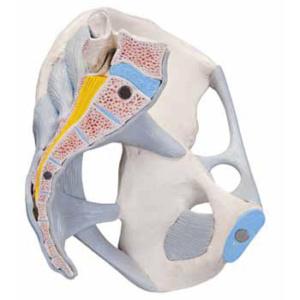 男性骨盤の断面を観察できます