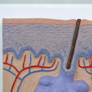 表皮:角質層や顆粒層など