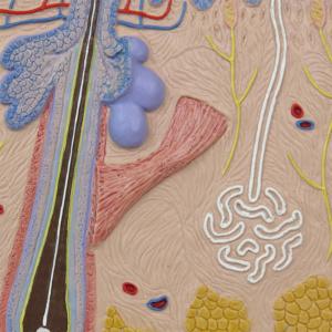 真皮:毛包や汗腺の断面など