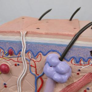 表皮:淡明層,結合層,剥離層など