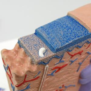 表皮:基底層や有棘層など