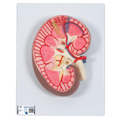 腎臓,3倍大モデル