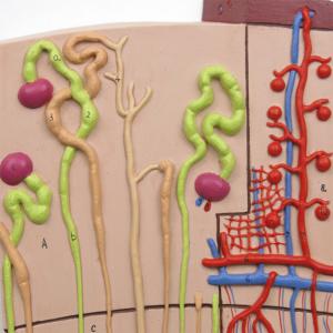近位尿細管,小葉間静脈など