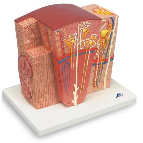 腎臓の組織構造モデル