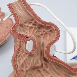 分解し,胃の内部を観察できます