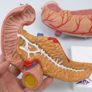 十二指腸と膵臓