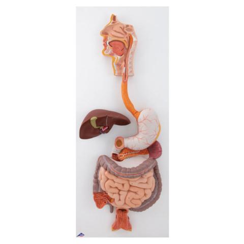 消化器系,3分解モデル