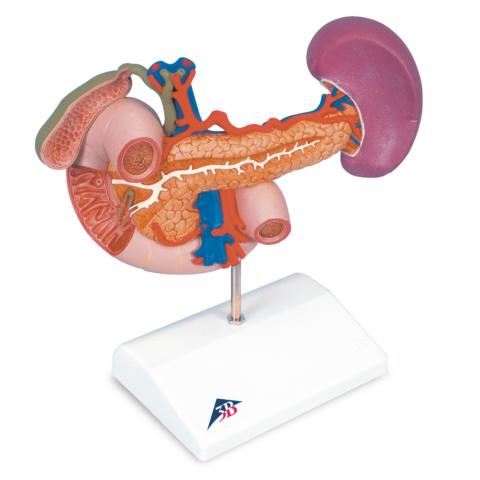 膵臓と周辺器官モデル